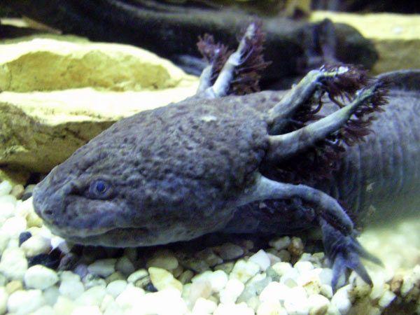 axolotl-50-1f42e0e.jpg