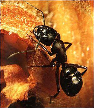 Animaux - Insectes - La fourmi - généralités -