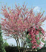 Arbres et arbustes - L'arbre de Judée -