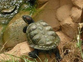 Tortues - tortue terrestre - Tortue marginée -