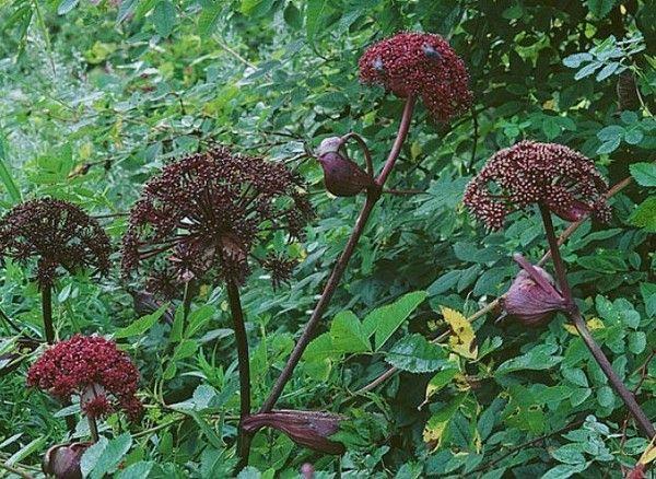 Phytoth rapie ang lique angelique plante for Plante angelique
