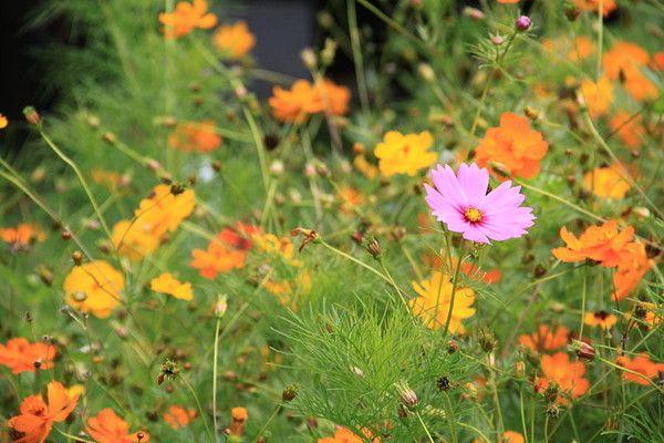Au jardin - le cosmos -