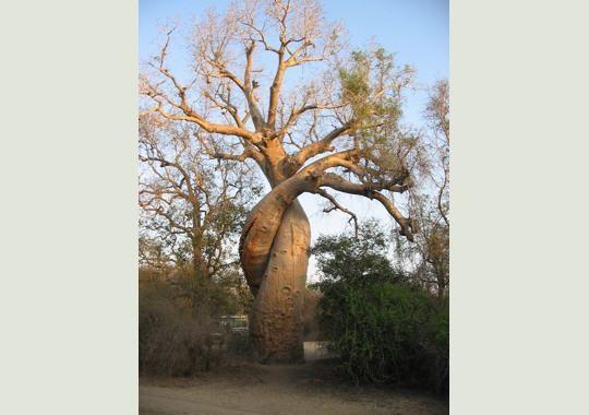 baobabs-amoureux-277607-20740ea.jpg
