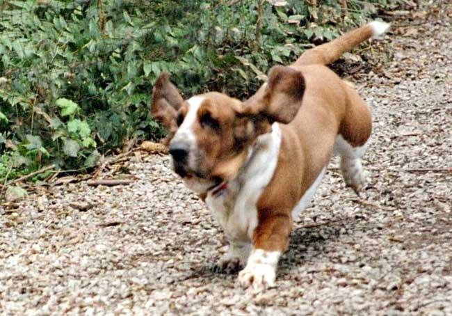 basset-hound-2-131e98e.jpg