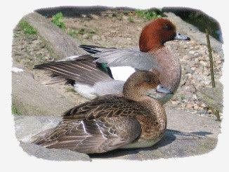 Animaux - Oiseaux - le canard siffleur -