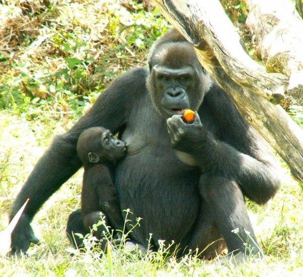 Mammifères - le Gorille -