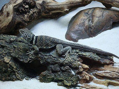 Animaux - Lézards - Les Crotaphytidés -