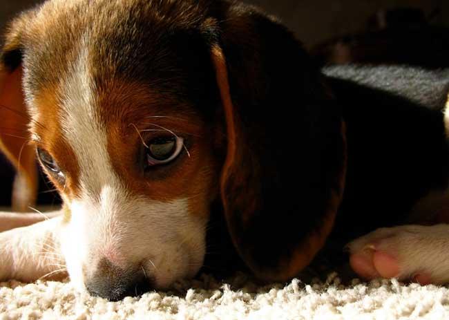 beagle-4-131eac8.jpg