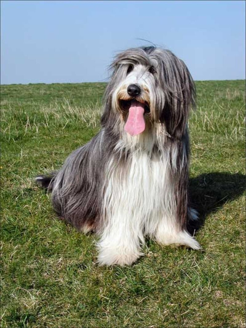 bearded-collie-131ebc3.jpg