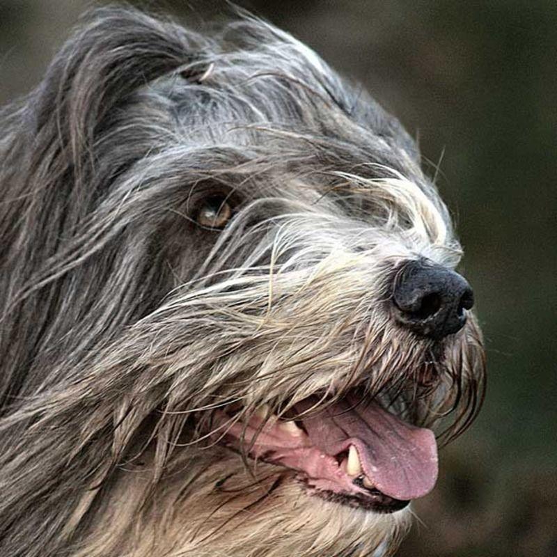bearded-collie-2-131ebec.jpg