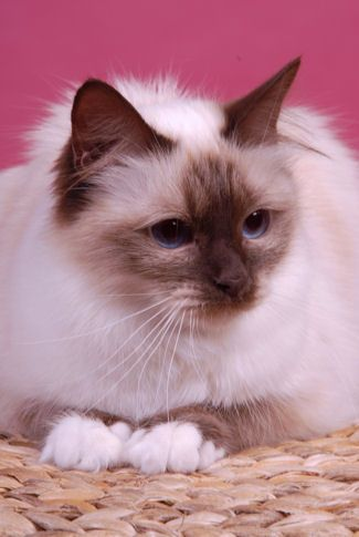birman-20chocolat-20point-1b82bf7.jpg