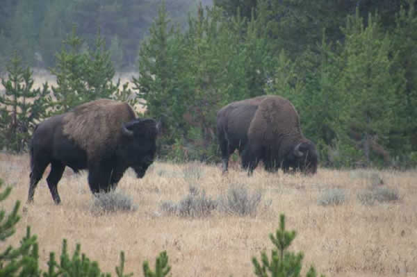 bison-yellowstone.jpg