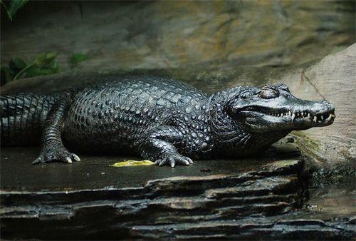 black-caiman-1863e8312.jpg
