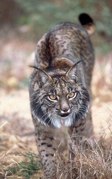 Animaux - Espèces menacées -le Lynx Pardelle  -