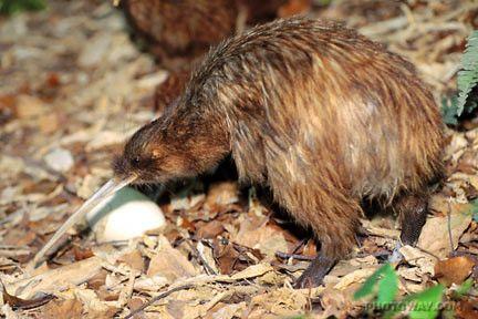 Animaux - Oiseaux - le Kiwi -