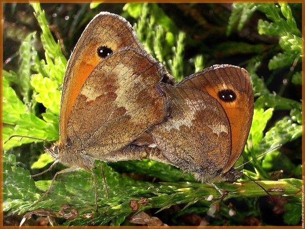 Animaux - Insectes - Papillon -  Présentation  -