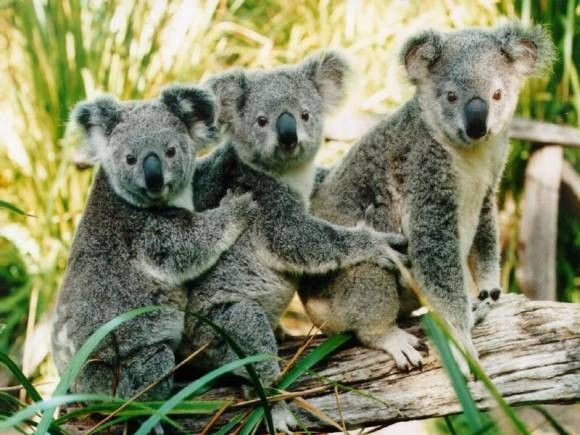 Animaux - Marsupiaux - Koala -