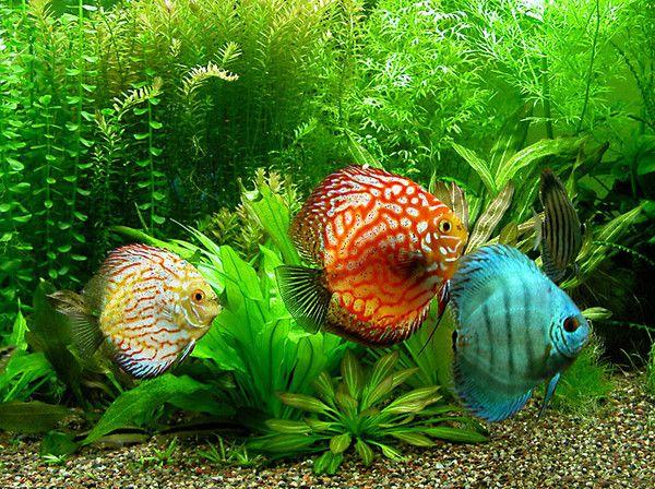 Aquariophilie eau douce - Discus -
