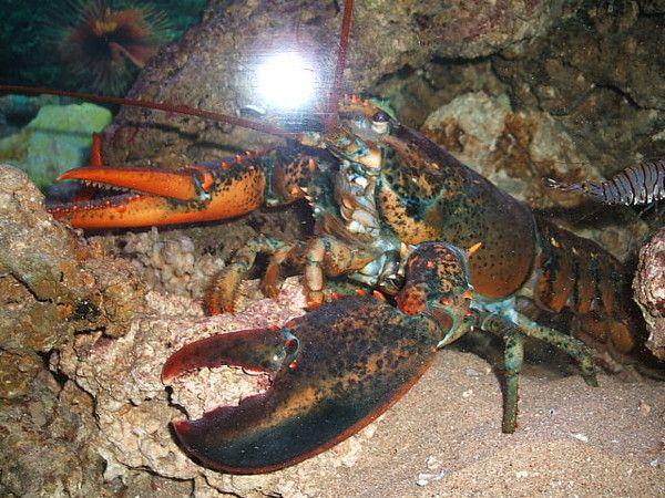 Animaux - Crustacés - Le homard d'Amérique -