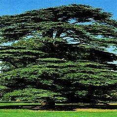 Arbres et arbustes - Le cèdre du Liban (Cedrus libani )