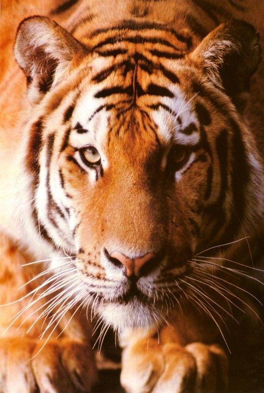 Animaux - Félins - Le Tigre - Présentation -