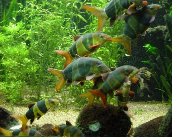 Aquariophilie eau douce - Les Loches -