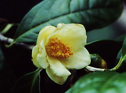 camellia_chrysantha.jpg