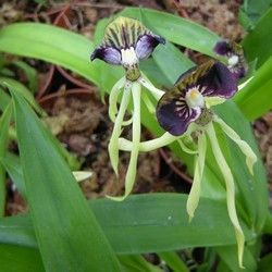 Orchidées - Encyclia cochleata -