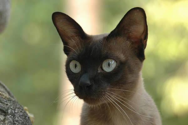 Hypoallergic Cats Breeds