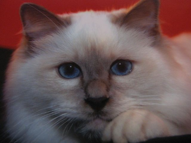 chats-sacre-de-bi.jpg