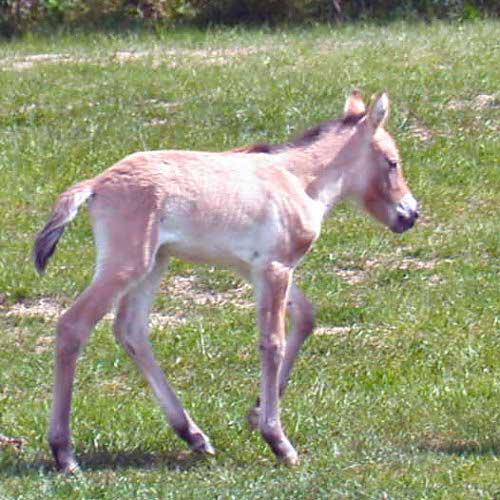 cheval-sauvage-3-2064ede.jpg