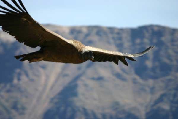 condor-andes-504-1571021.jpg