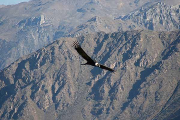 condor-andes-506-1570fb6.jpg