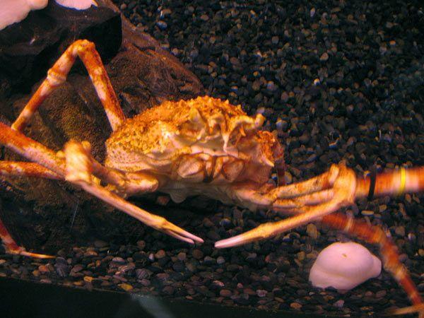 crabe-japon-2-15cd15b.jpg