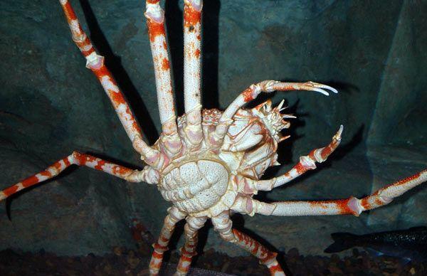 crabe-japon-3-15cd13c.jpg