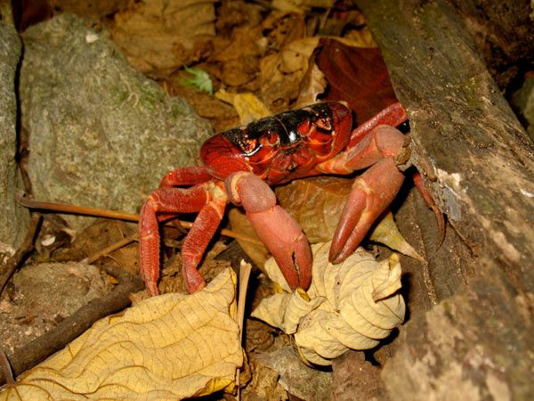 crabe-rouge-3-15cce53.jpg