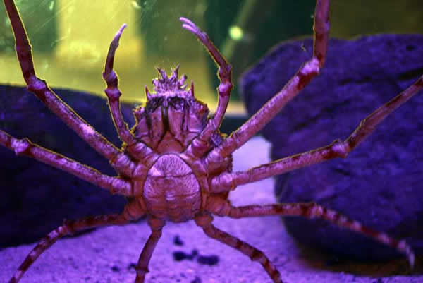 crabe_japon-15cd1d2.jpg