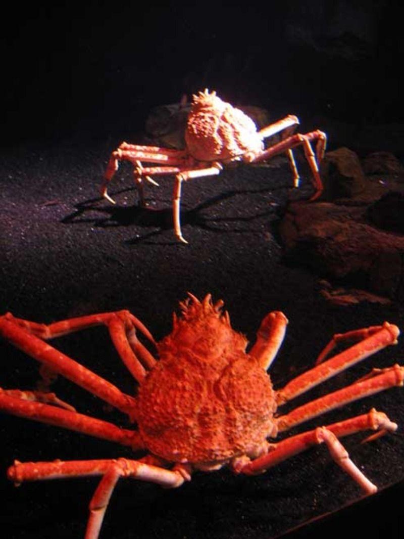 crabe_japon_04-15cd05c.jpg