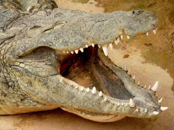 crocodile-nil-2002.jpg