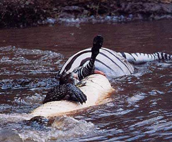 crocodile-nil-chasse.jpg