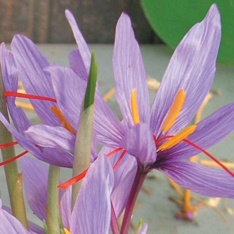 crocus-sativus-80452-2.jpg