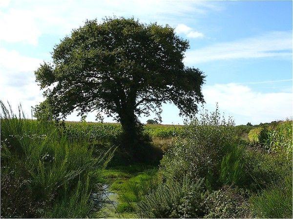 Arbres et arbustes - Le Chene -