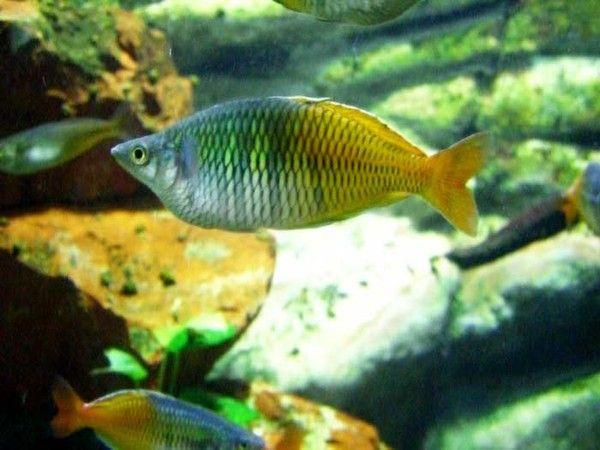 aquariophilie eau douce - Le Poisson arc-en-ciel -