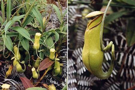 Les plantes carnivores - les Nepenthes -