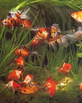 aquariophilie eau douce - poisson rouge - espèces -