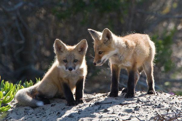 Animaux - Canidés - Le renard - espèces, évolution-