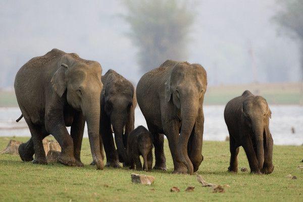 Animaux - Espèces menacées - Eléphant d'Asie -