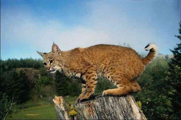 Animaux - Félins - Le Lynx -