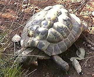 Tortues - tortue terrestre - Tortue d'Hermann -