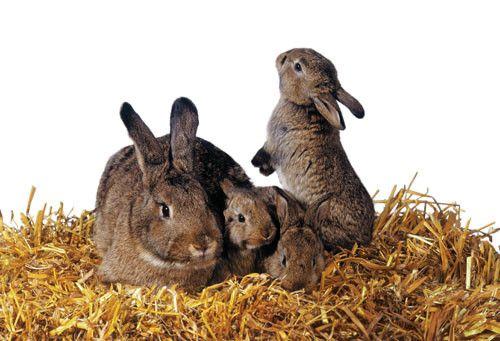 Animaux - lagomorphes - Le lapin -
